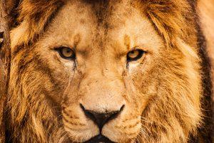 marriage advice for men the alpha lair (huge lion face)